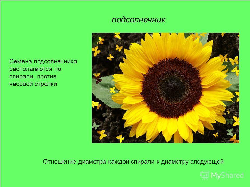 подсолнечник Отношение диаметра каждой спирали к диаметру следующей Семена подсолнечника располагаются по спирали, против часовой стрелки