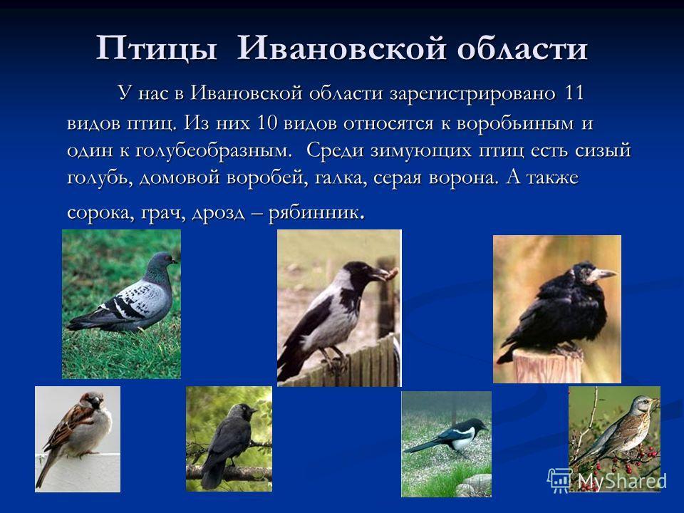 Птицы Ивановской области У нас в Ивановской области зарегистрировано 11 видов птиц. Из них 10 видов относятся к воробьиным и один к голубеобразным. Среди зимующих птиц есть сизый голубь, домовой воробей, галка, серая ворона. А также сорока, грач, дро