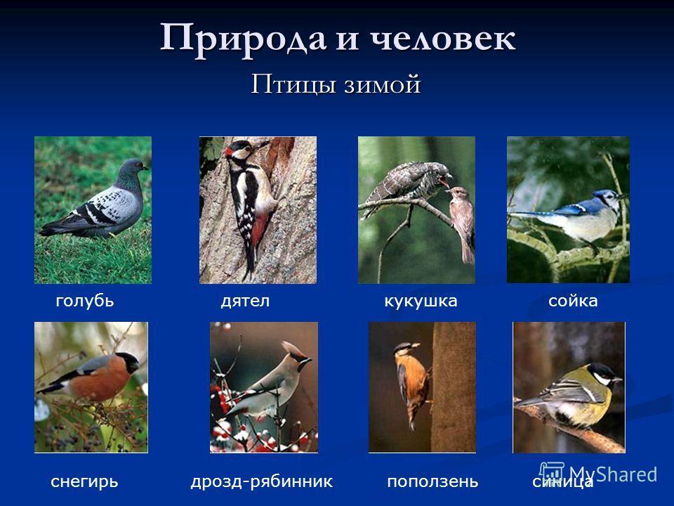 Природа и человек Птицы зимой Птицы зимой голубь дятел кукушка сойка снегирь дрозд-рябинник поползень синица