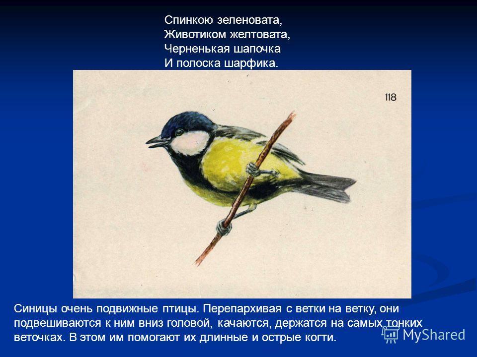 Синицы очень подвижные птицы. Перепархивая с ветки на ветку, они подвешиваются к ним вниз головой, качаются, держатся на самых тонких веточках. В этом им помогают их длинные и острые когти. Спинкою зеленовата, Животиком желтовата, Черненькая шапочка