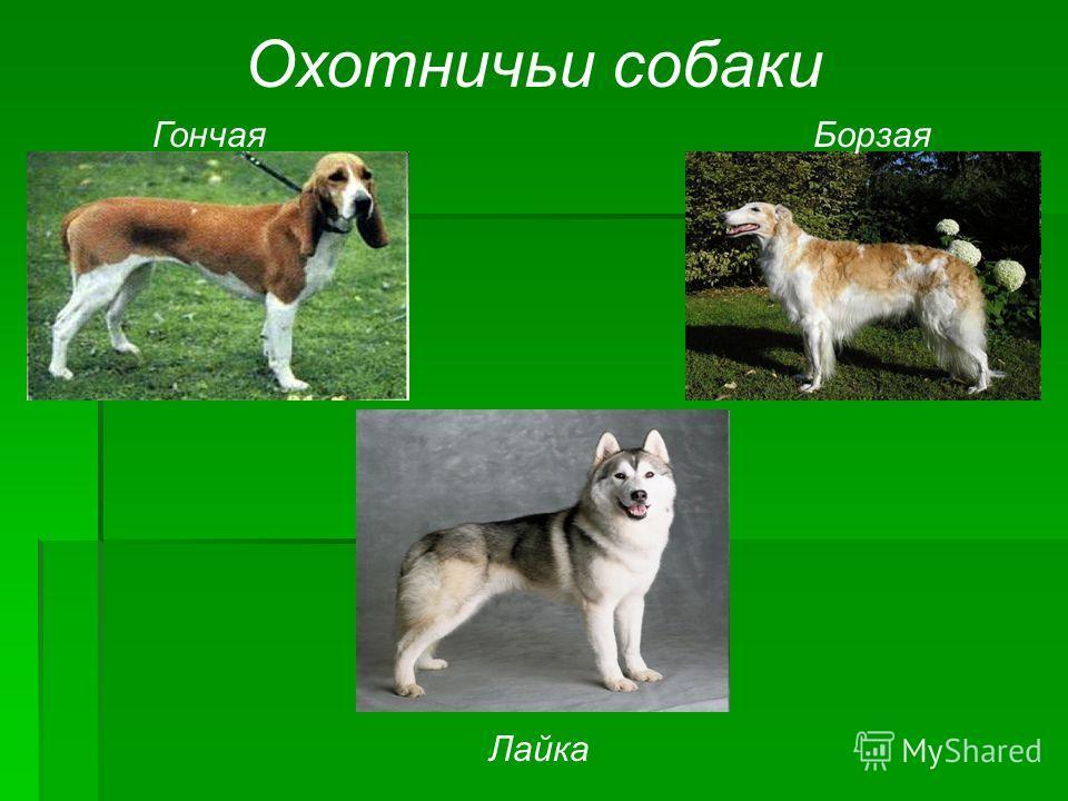 Охотничьи собаки ГончаяБорзая Лайка