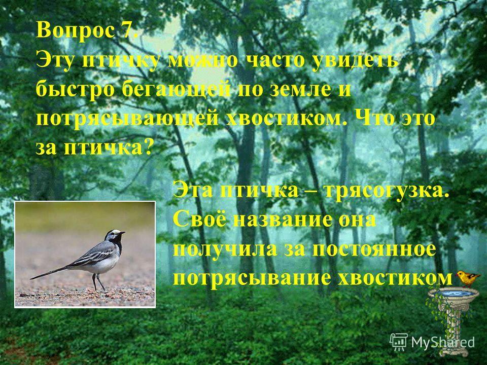 Вопрос 7. Эту птичку можно часто увидеть быстро бегающей по земле и потрясывающей хвостиком. Что это за птичка? Эта птичка – трясогузка. Своё название она получила за постоянное потрясывание хвостиком