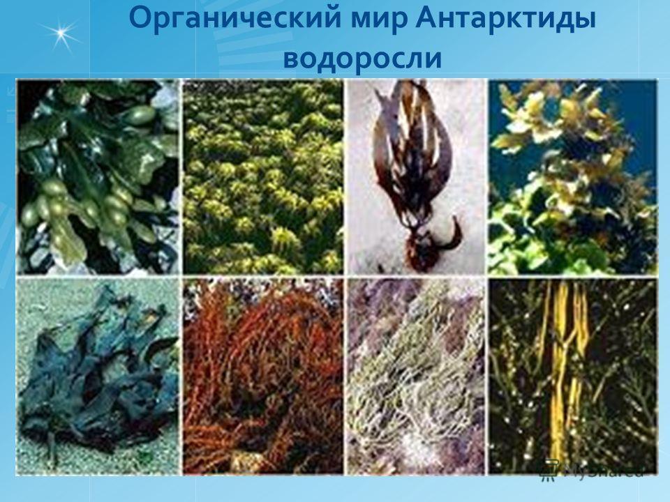Органический мир Антарктиды водоросли
