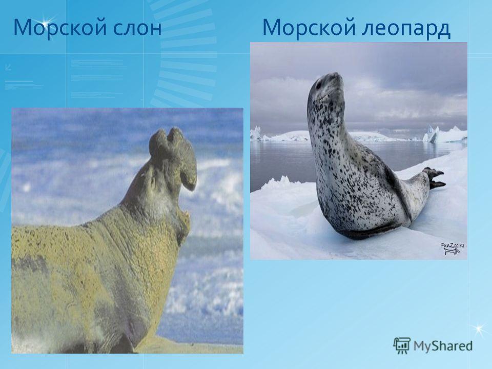 Морской слон Морской леопард