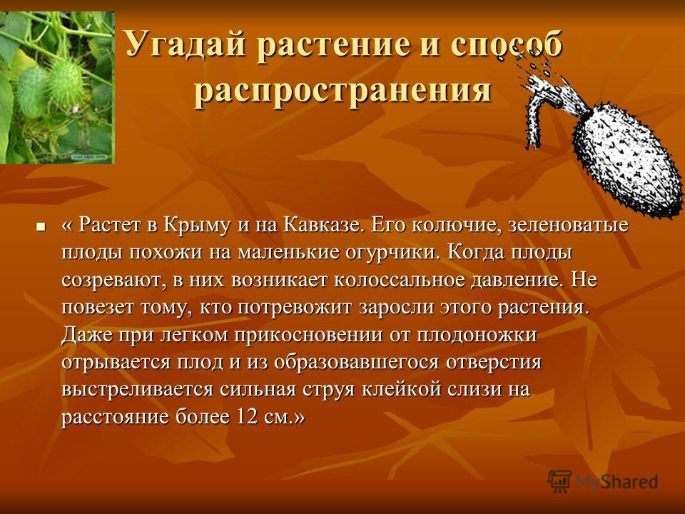 Угадай растение и способ распространения « Растет в Крыму и на Кавказе. Его колючие, зеленоватые плоды похожи на маленькие огурчики. Когда плоды созревают, в них возникает колоссальное давление. Не повезет тому, кто потревожит заросли этого растения.