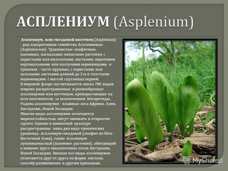 Асплениум, или гнездовой костенец (Asplenium) - род папоротников семейства Асплениевые (Aspleniaceae). Травянистые эпифитные, наземные, наскальные невысокие растения с перистыми или вильчатыми листьями ; короткими вертикальными или ползучими корневищ