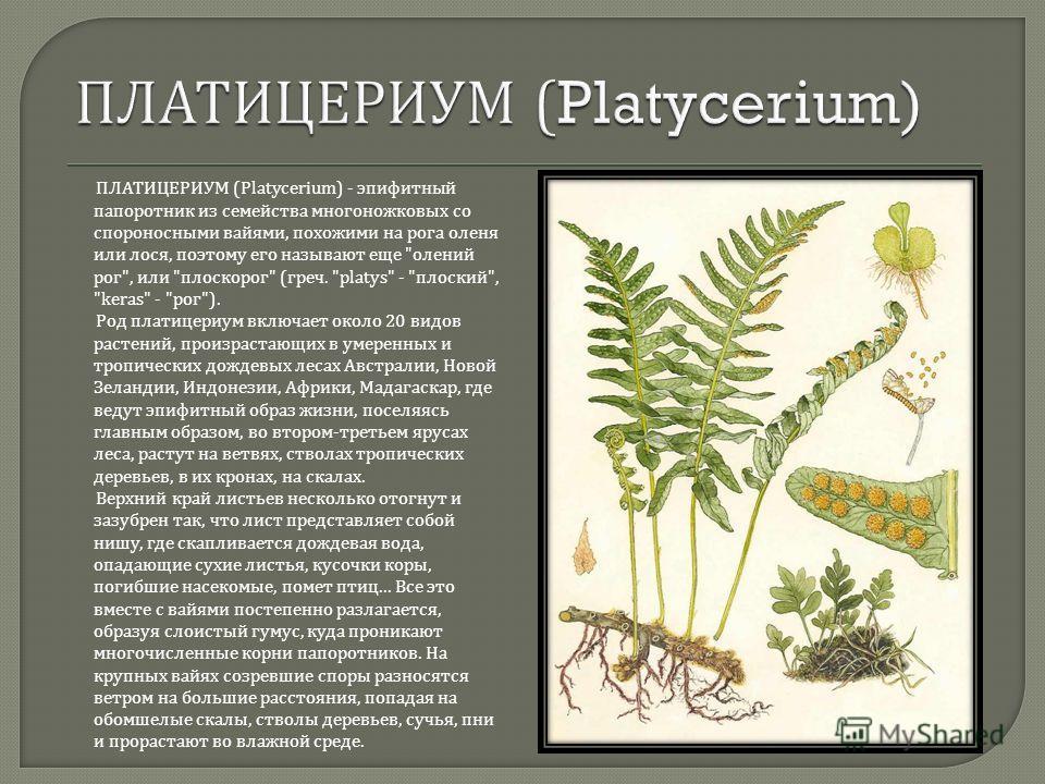 ПЛАТИЦЕРИУМ (Platycerium) - эпифитный папоротник из семейства многоножковых со спороносными вайями, похожими на рога оленя или лося, поэтому его называют еще