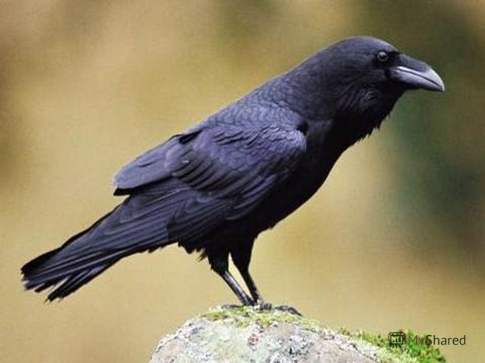 Птицы: ворон.