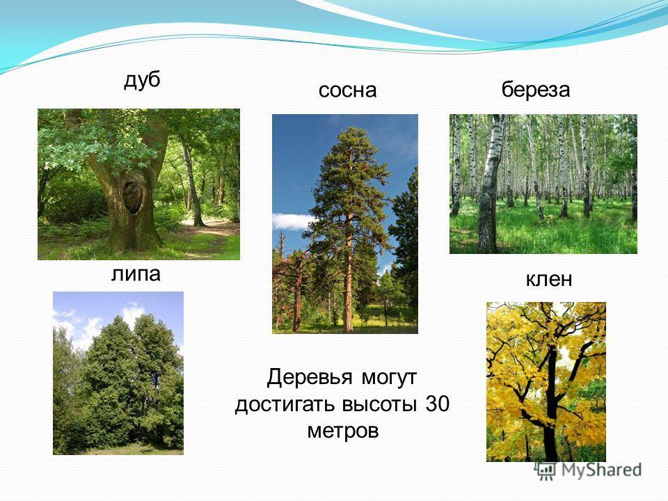 дуб береза сосна липа клен Деревья могут достигать высоты 30 метров