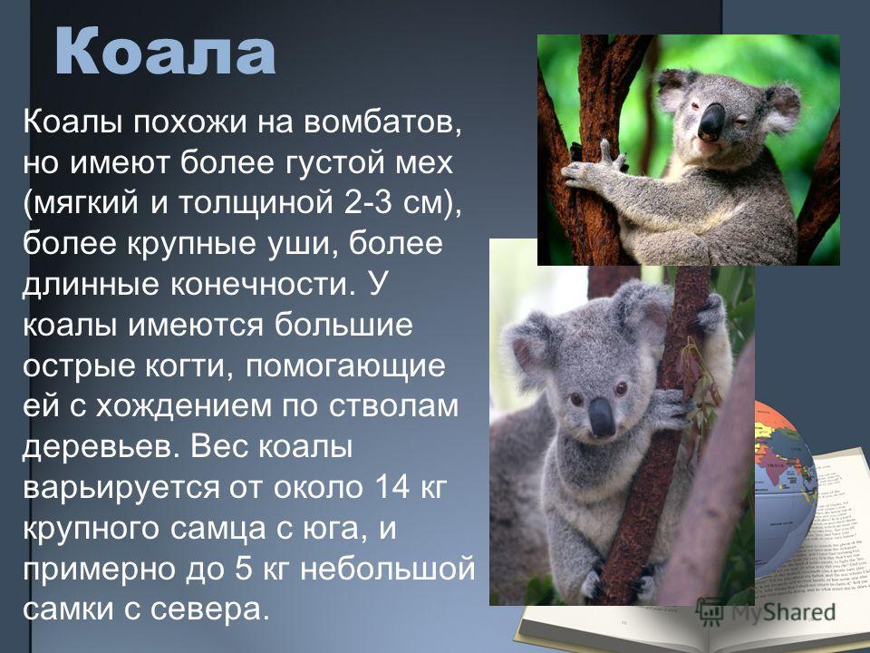 Коала Коалы похожи на вомбатов, но имеют более густой мех (мягкий и толщиной 2-3 см), более крупные уши, более длинные конечности. У коалы имеются большие острые когти, помогающие ей с хождением по стволам деревьев. Вес коалы варьируется от около 14
