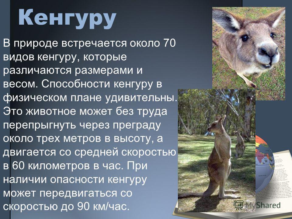 Кенгуру В природе встречается около 70 видов кенгуру, которые различаются размерами и весом. Способности кенгуру в физическом плане удивительны. Это животное может без труда перепрыгнуть через преграду около трех метров в высоту, а двигается со средн