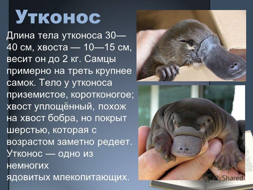 Утконос Длина тела утконоса 30 40 см, хвоста 1015 см, весит он до 2 кг. Самцы примерно на треть крупнее самок. Тело у утконоса приземистое, коротконогое; хвост уплощённый, похож на хвост бобра, но покрыт шерстью, которая с возрастом заметно редеет. У