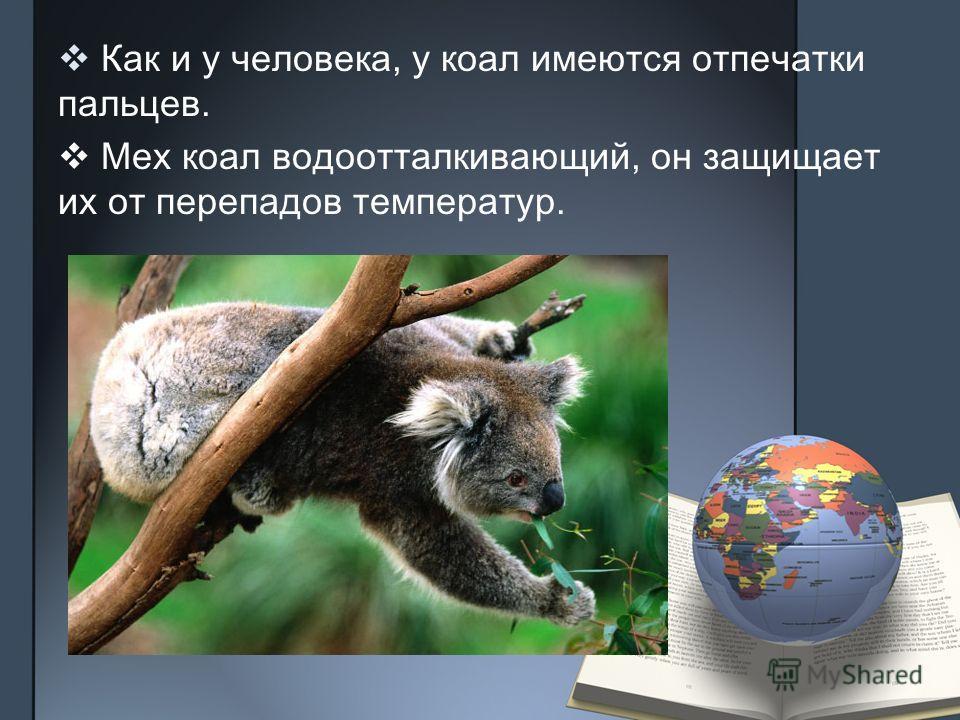 Как и у человека, у коал имеются отпечатки пальцев. Мех коал водоотталкивающий, он защищает их от перепадов температур.