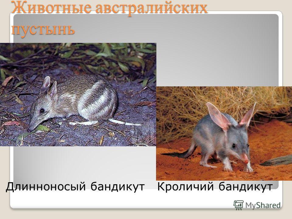 Животные австралийских пустынь Длинноносый бандикут Кроличий бандикут
