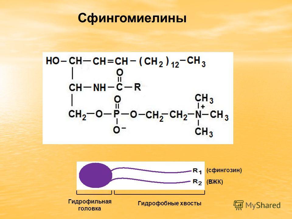 Сфингомиелины Гидрофильная головка Гидрофобные хвосты (сфингозин) (ВЖК)