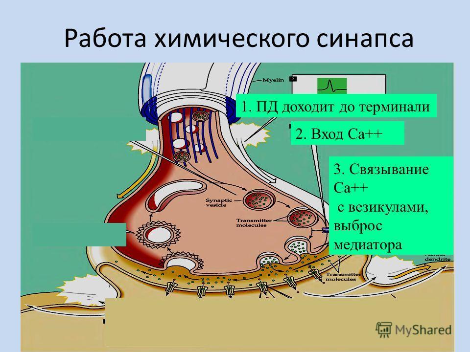 Работа химического синапса 1. ПД доходит до терминали 2. Вход Са++ 3. Связывание Са++ с везикулами, выброс медиатора