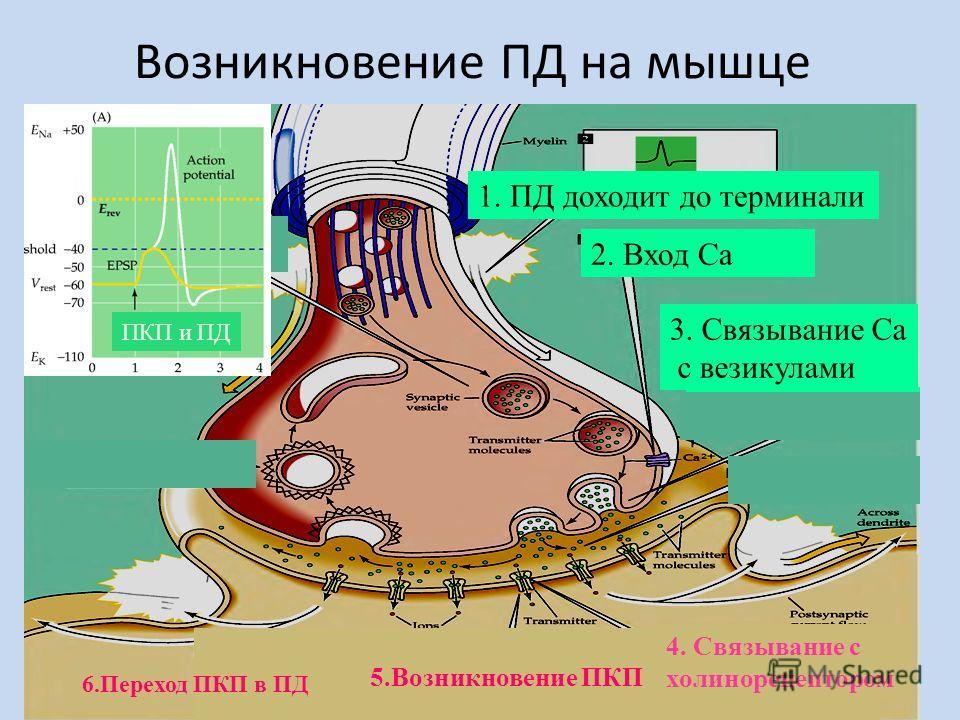 Возникновение ПД на мышце 1. ПД доходит до терминали 2. Вход Са 3. Связывание Са с везикулами 5.Возникновение ПКП 4. Связывание c холинорецептором ПКП и ПД 6.Переход ПКП в ПД