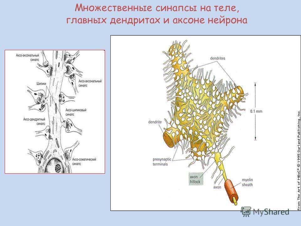 Множественные синапсы на теле, главных дендритах и аксоне нейрона