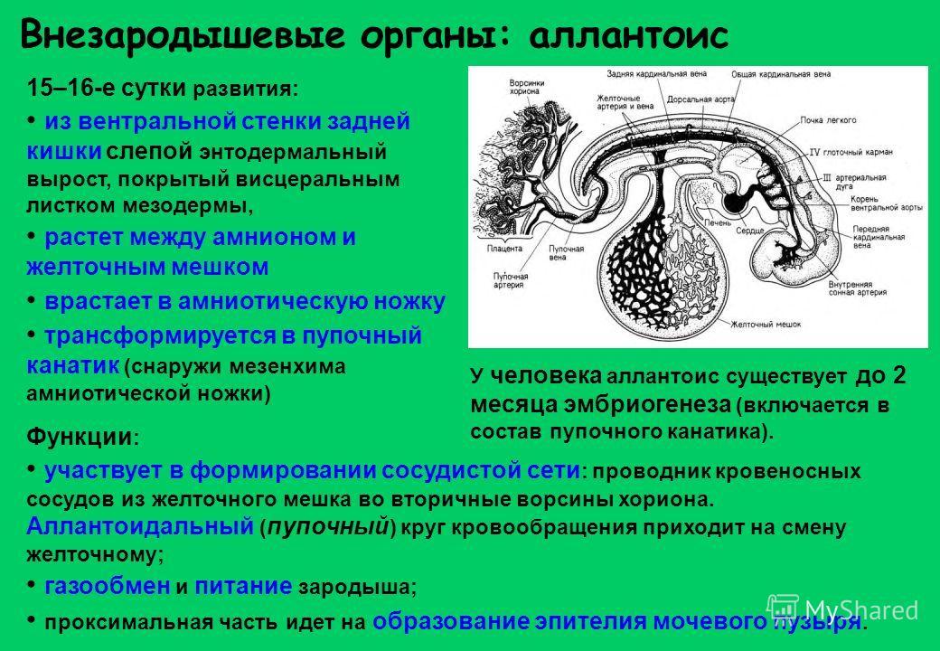 Внезародышевые органы: аллантоис 15–16-е сутки развития: из вентральной стенки задней кишки слепой энтодермальный вырост, покрытый висцеральным листком мезодермы, растет между амнионом и желточным мешком врастает в амниотическую ножку трансформируетс