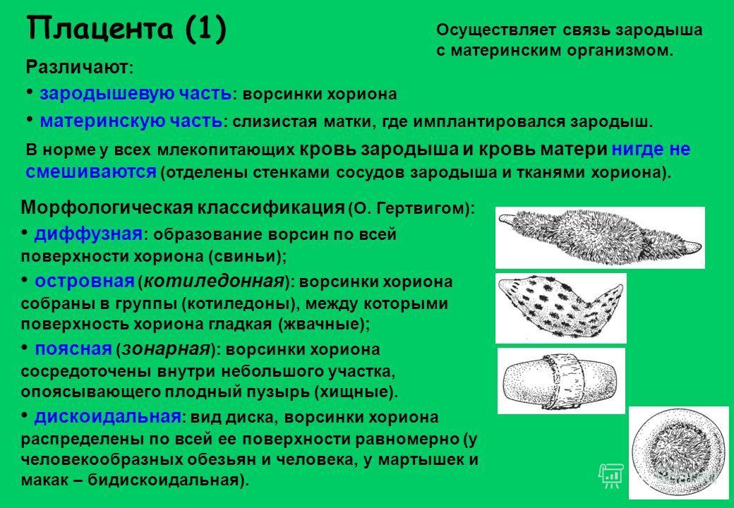 Морфологическая классификация (О. Гертвигом): диффузная : образование ворсин по всей поверхности хориона (свиньи); островная ( котиледонная ): ворсинки хориона собраны в группы (котиледоны), между которыми поверхность хориона гладкая (жвачные); поясн