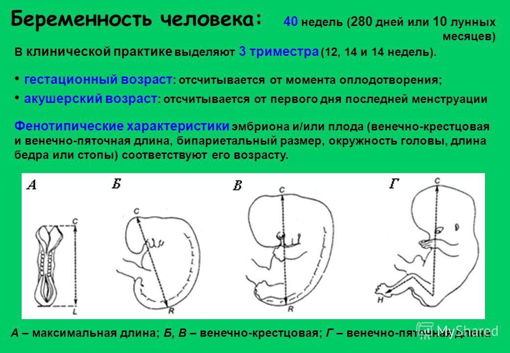 Беременность человека: В клинической практике выделяют 3 триместра (12, 14 и 14 недель). гестационный возраст : отсчитывается от момента оплодотворения; акушерский возраст : отсчитывается от первого дня последней менструации Фенотипические характерис