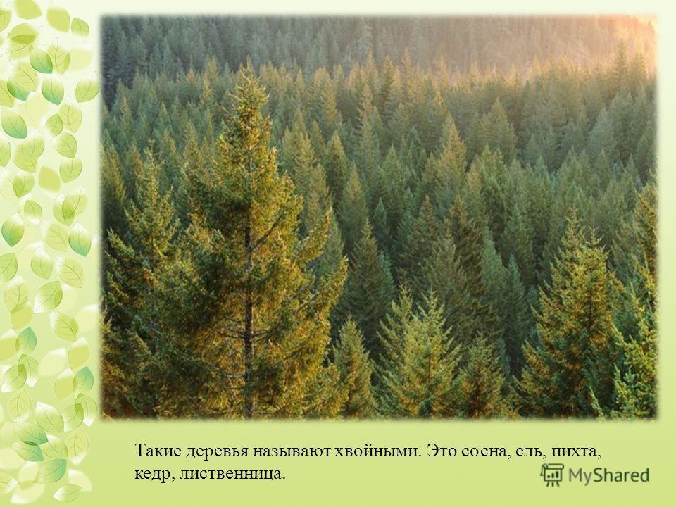 Такие деревья называют хвойными. Это сосна, ель, пихта, кедр, лиственница.