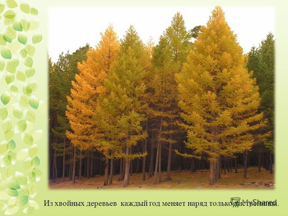 Из хвойных деревьев каждый год меняет наряд только лиственница.