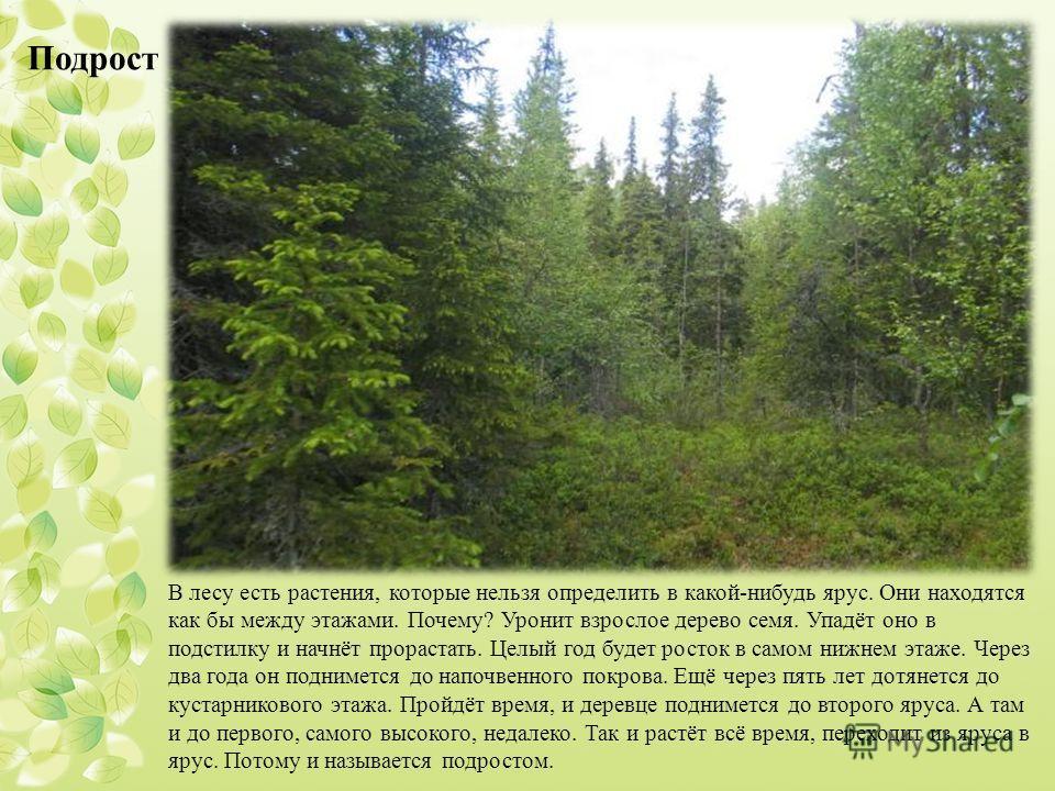 В лесу есть растения, которые нельзя определить в какой-нибудь ярус. Они находятся как бы между этажами. Почему? Уронит взрослое дерево семя. Упадёт оно в подстилку и начнёт прорастать. Целый год будет росток в самом нижнем этаже. Через два года он п