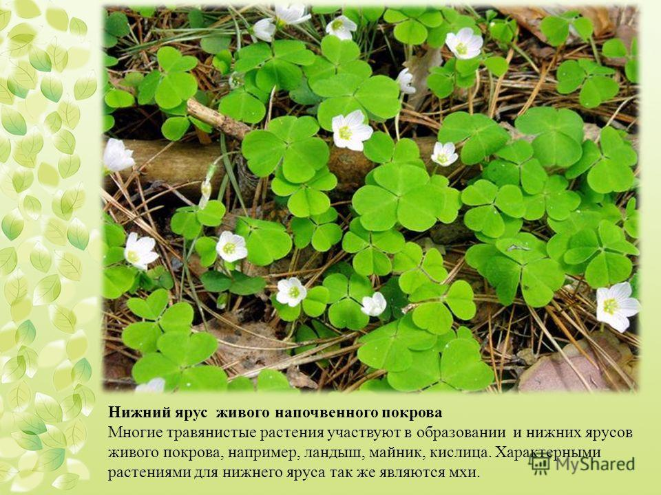 Нижний ярус живого напочвенного покрова Многие травянистые растения участвуют в образовании и нижних ярусов живого покрова, например, ландыш, майник, кислица. Характерными растениями для нижнего яруса так же являются мхи.