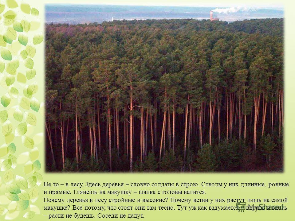 Не то – в лесу. Здесь деревья – словно солдаты в строю. Стволы у них длинные, ровные и прямые. Глянешь на макушку – шапка с головы валится. Почему деревья в лесу стройные и высокие? Почему ветви у них растут лишь на самой макушке? Всё потому, что сто
