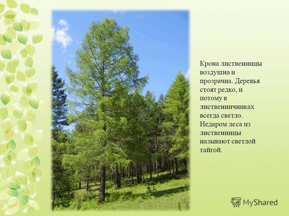 Крона лиственницы воздушна и прозрачна. Деревья стоят редко, и потому в лиственничниках всегда светло. Недаром леса из лиственницы называют светлой тайгой.