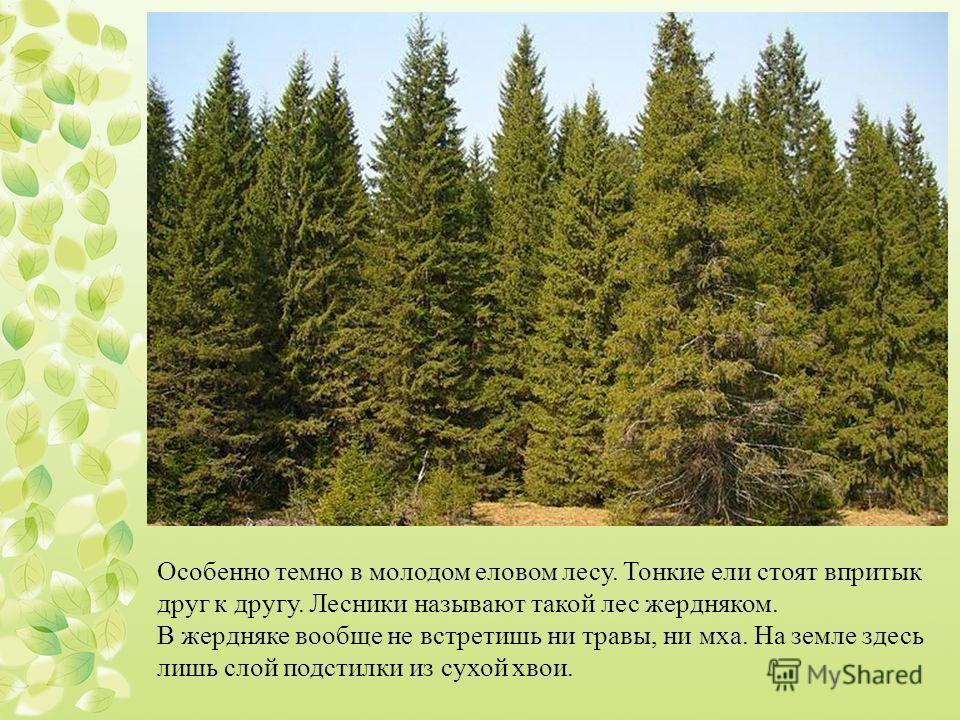 Особенно темно в молодом еловом лесу. Тонкие ели стоят впритык друг к другу. Лесники называют такой лес жердняком. В жердняке вообще не встретишь ни травы, ни мха. На земле здесь лишь слой подстилки из сухой хвои.