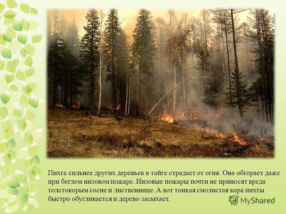 Пихта сильнее других деревьев в тайге страдает от огня. Она обгорает даже при беглом низовом пожаре. Низовые пожары почти не приносят вреда толстокорым сосне и лиственнице. А вот тонкая смолистая кора пихты быстро обугливается и дерево засыхает.