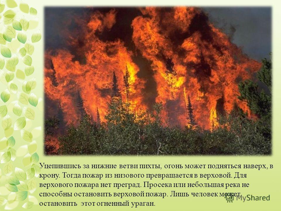 Уцепившись за нижние ветви пихты, огонь может подняться наверх, в крону. Тогда пожар из низового превращается в верховой. Для верхового пожара нет преград. Просека или небольшая река не способны остановить верховой пожар. Лишь человек может остановит