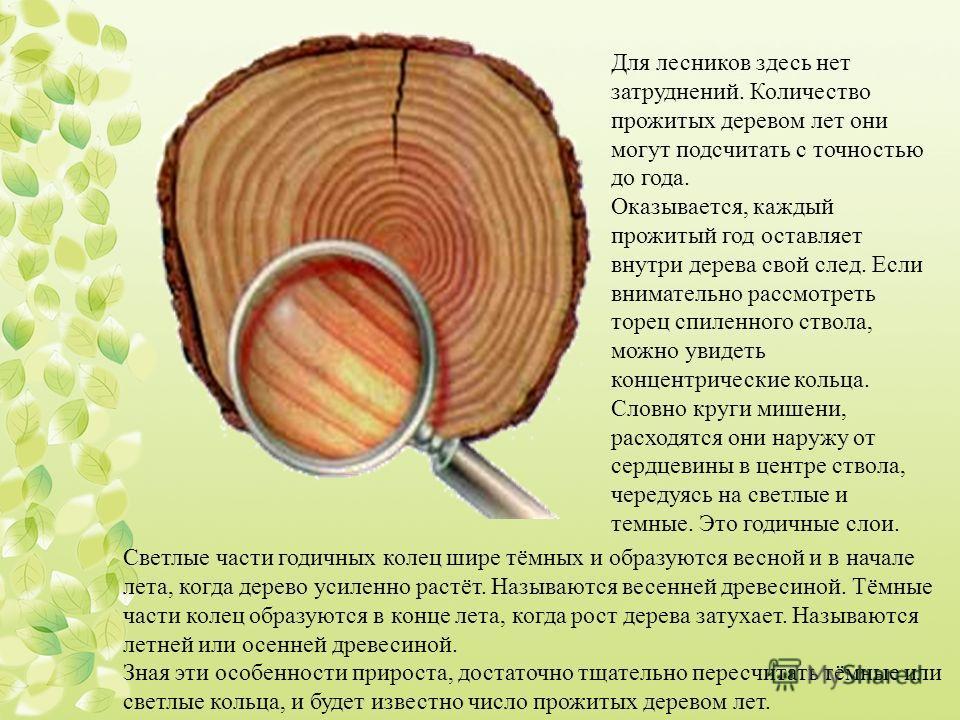 Светлые части годичных колец шире тёмных и образуются весной и в начале лета, когда дерево усиленно растёт. Называются весенней древесиной. Тёмные части колец образуются в конце лета, когда рост дерева затухает. Называются летней или осенней древесин