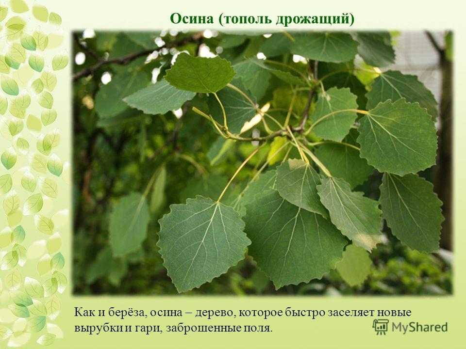 Как и берёза, осина – дерево, которое быстро заселяет новые вырубки и гари, заброшенные поля. Осина (тополь дрожащий)