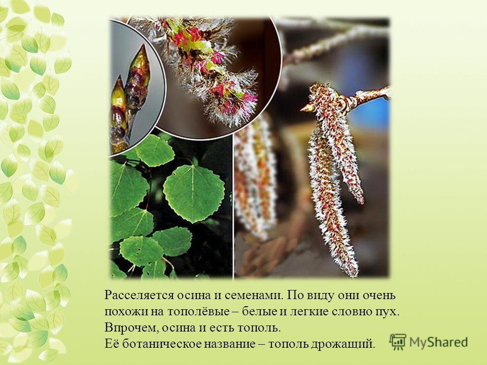Расселяется осина и семенами. По виду они очень похожи на тополёвые – белые и легкие словно пух. Впрочем, осина и есть тополь. Её ботаническое название – тополь дрожащий.