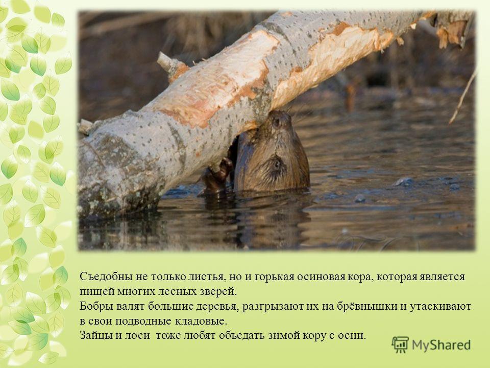 Съедобны не только листья, но и горькая осиновая кора, которая является пищей многих лесных зверей. Бобры валят большие деревья, разгрызают их на брёвнышки и утаскивают в свои подводные кладовые. Зайцы и лоси тоже любят объедать зимой кору с осин.