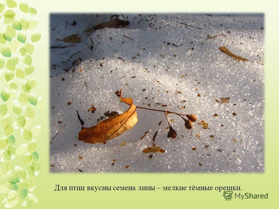 Для птиц вкусны семена липы – мелкие тёмные орешки.