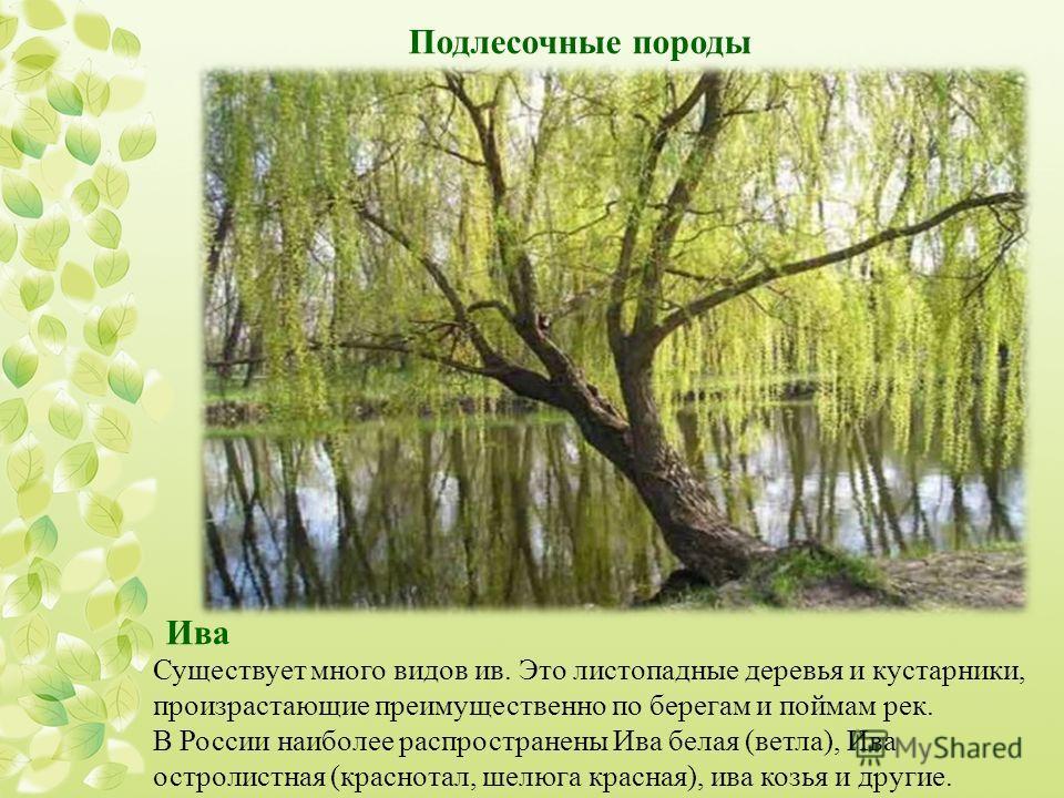 Существует много видов ив. Это листопадные деревья и кустарники, произрастающие преимущественно по берегам и поймам рек. В России наиболее распространены Ива белая (ветла), Ива остролистная (краснотал, шелюга красная), ива козья и другие. Ива Подлесо