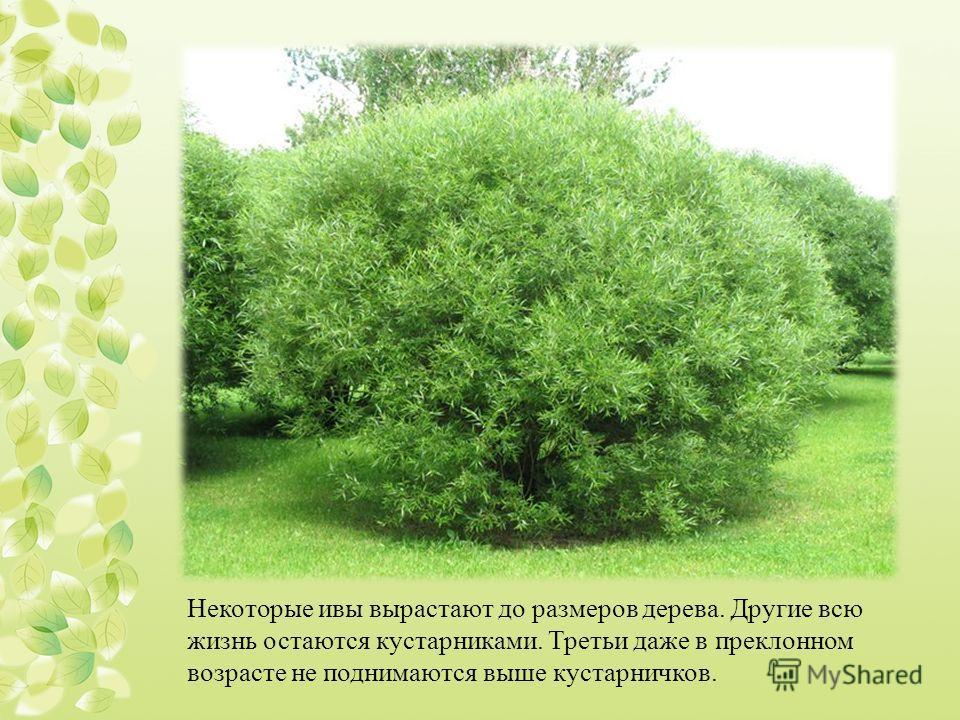 Некоторые ивы вырастают до размеров дерева. Другие всю жизнь остаются кустарниками. Третьи даже в преклонном возрасте не поднимаются выше кустарничков.