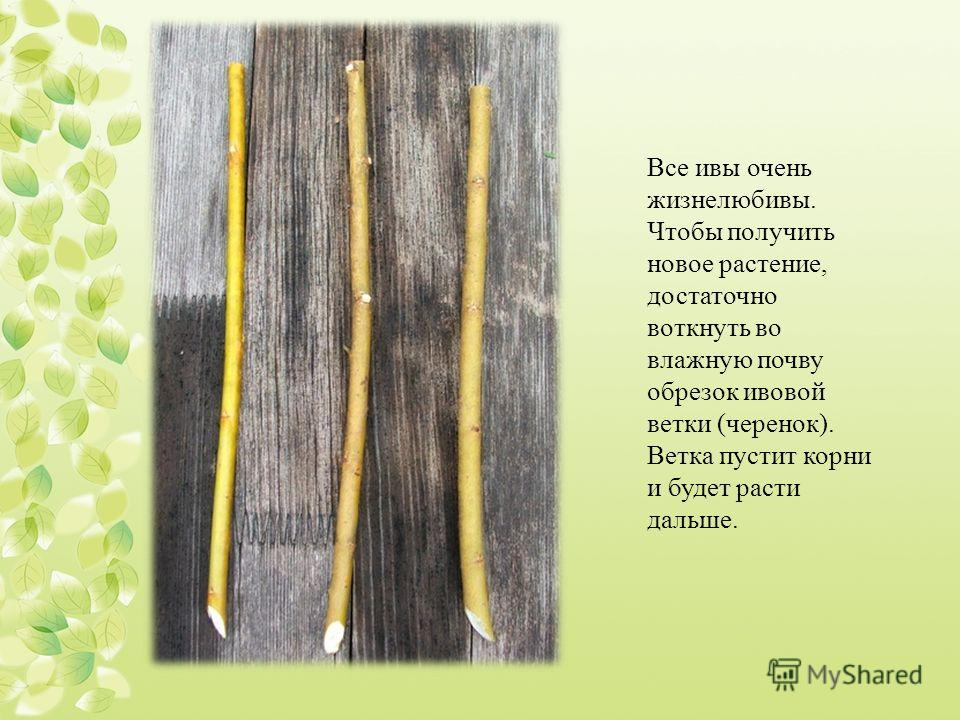 Все ивы очень жизнелюбивы. Чтобы получить новое растение, достаточно воткнуть во влажную почву обрезок ивовой ветки (черенок). Ветка пустит корни и будет расти дальше.