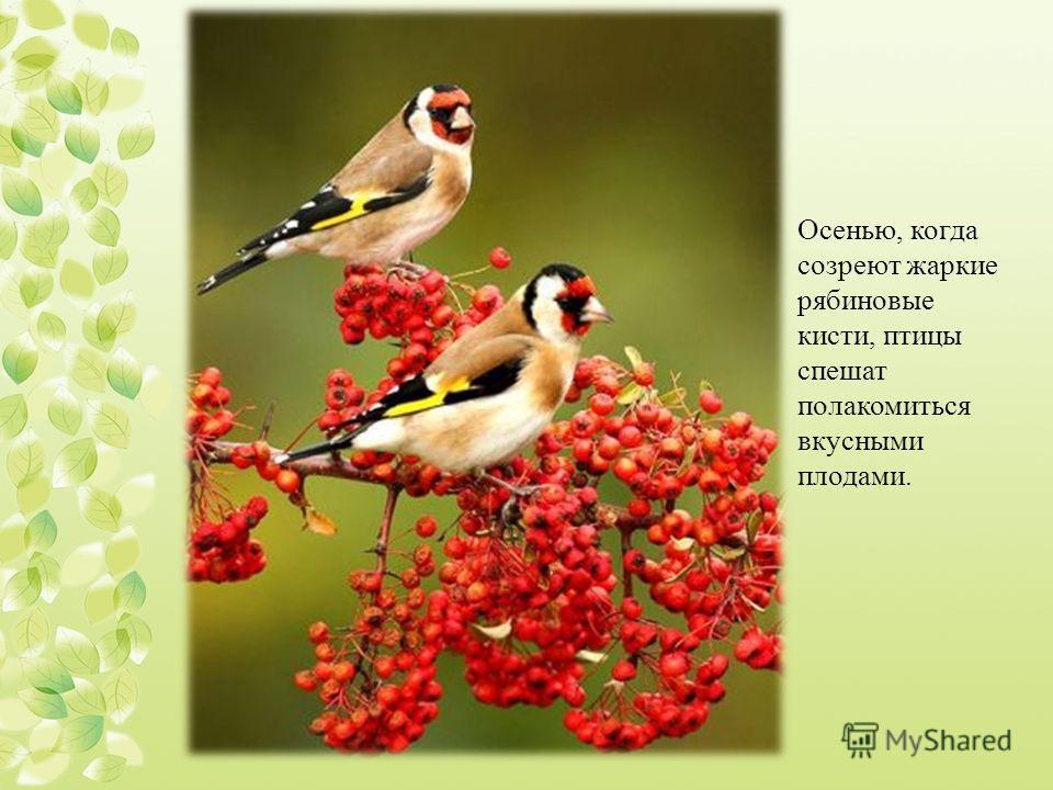 Осенью, когда созреют жаркие рябиновые кисти, птицы спешат полакомиться вкусными плодами.