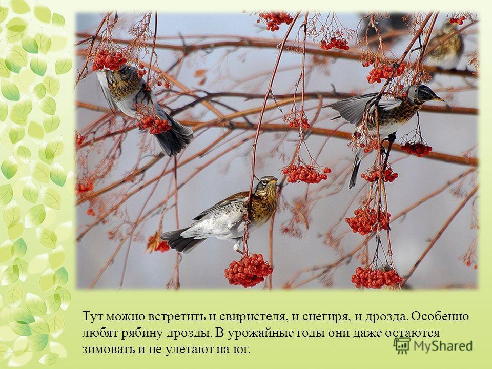 Тут можно встретить и свиристеля, и снегиря, и дрозда. Особенно любят рябину дрозды. В урожайные годы они даже остаются зимовать и не улетают на юг.