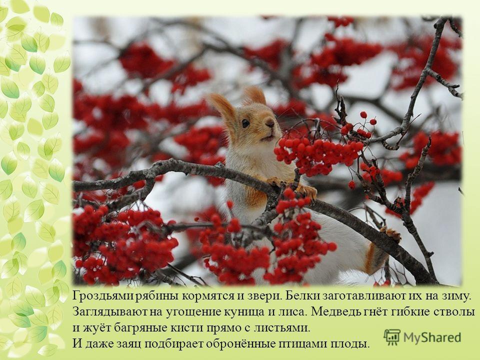 Гроздьями рябины кормятся и звери. Белки заготавливают их на зиму. Заглядывают на угощение куница и лиса. Медведь гнёт гибкие стволы и жуёт багряные кисти прямо с листьями. И даже заяц подбирает обронённые птицами плоды.