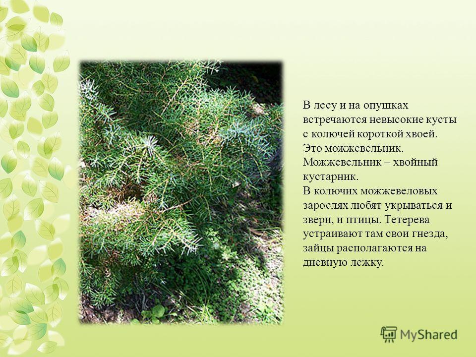В лесу и на опушках встречаются невысокие кусты с колючей короткой хвоей. Это можжевельник. Можжевельник – хвойный кустарник. В колючих можжевеловых зарослях любят укрываться и звери, и птицы. Тетерева устраивают там свои гнезда, зайцы располагаются