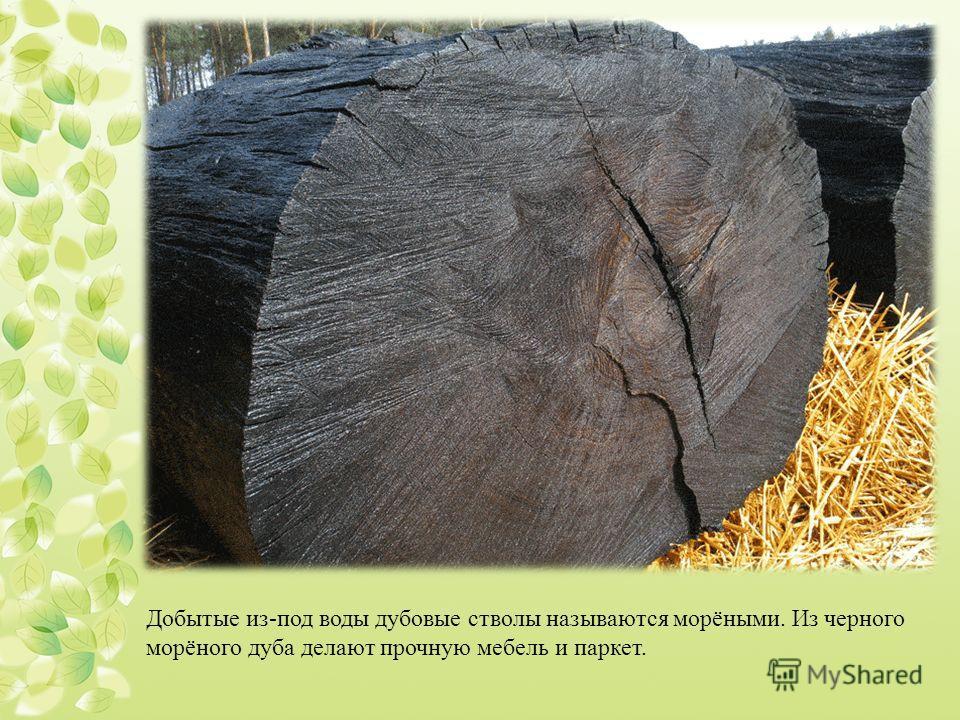 Добытые из-под воды дубовые стволы называются морёными. Из черного морёного дуба делают прочную мебель и паркет.