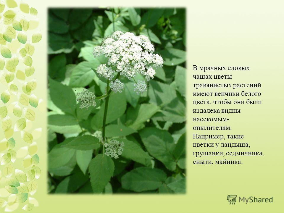 В мрачных еловых чащах цветы травянистых растений имеют венчики белого цвета, чтобы они были издалека видны насекомым- опылителям. Например, такие цветки у ландыша, грушанки, седмичника, сныти, майника.