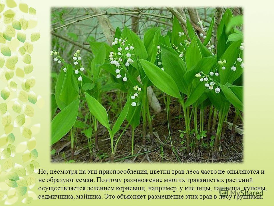 Но, несмотря на эти приспособления, цветки трав леса часто не опыляются и не образуют семян. Поэтому размножение многих травянистых растений осуществляется делением корневищ, например, у кислицы, ландыша, купены, седмичника, майника. Это объясняет ра