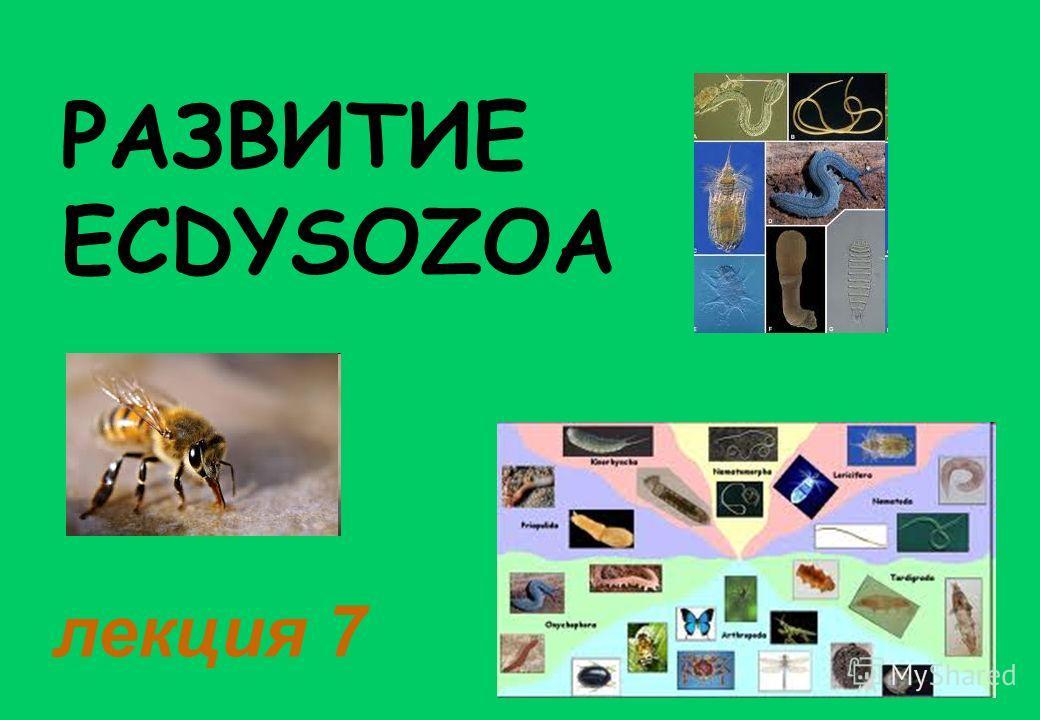 РАЗВИТИЕ ECDYSOZOA лекция 7